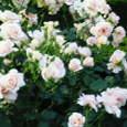 2 旧古河庭園 風に揺れる薔薇