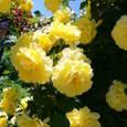 黄薔薇はエネルギッシュ