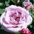 蕾は濃いピンク、開くと薄桃色