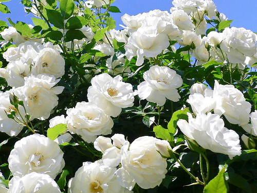 清楚な白薔薇