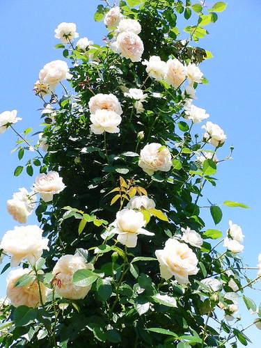 薔薇のタワー