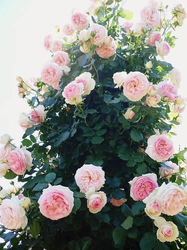 薔薇のタワー ピンク