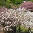 11 土手から眺めた桜