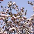 13 青空と桜