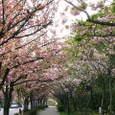 12 公園外の八重桜並木道