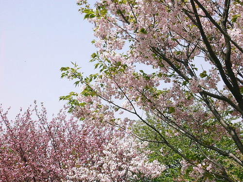 10 芝生広場の桜