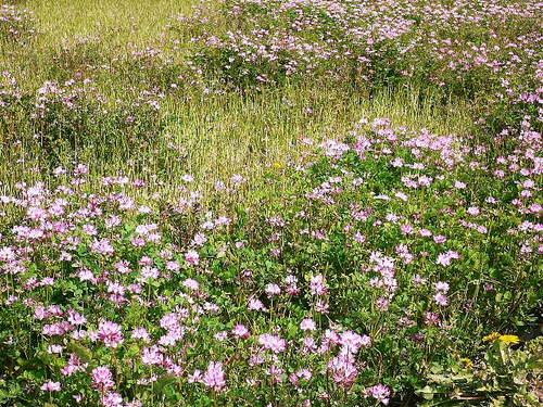 29 田圃のれんげ草